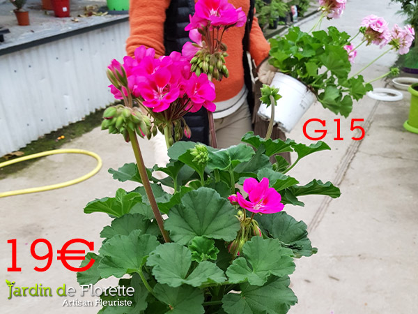 G15 : Géraniums en pot diamètre 15 cm