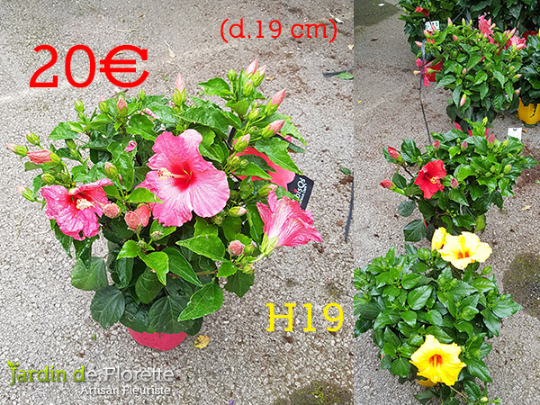 H19 : Hibiscus – pot diamètre 19 cm
