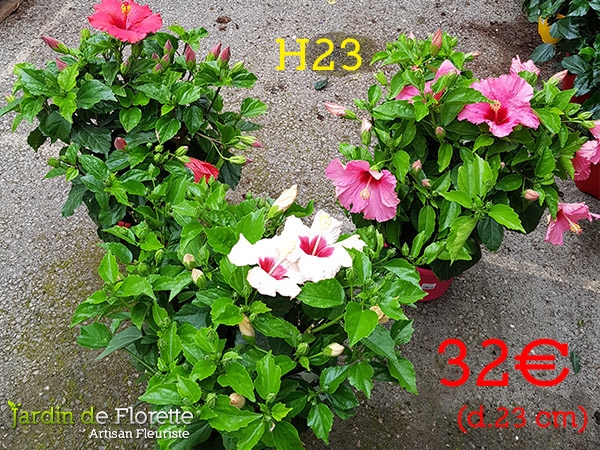 H23 : Hibiscus – pot diamètre 23 cm