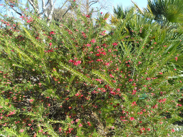 Grevillia johnsonii en buisson